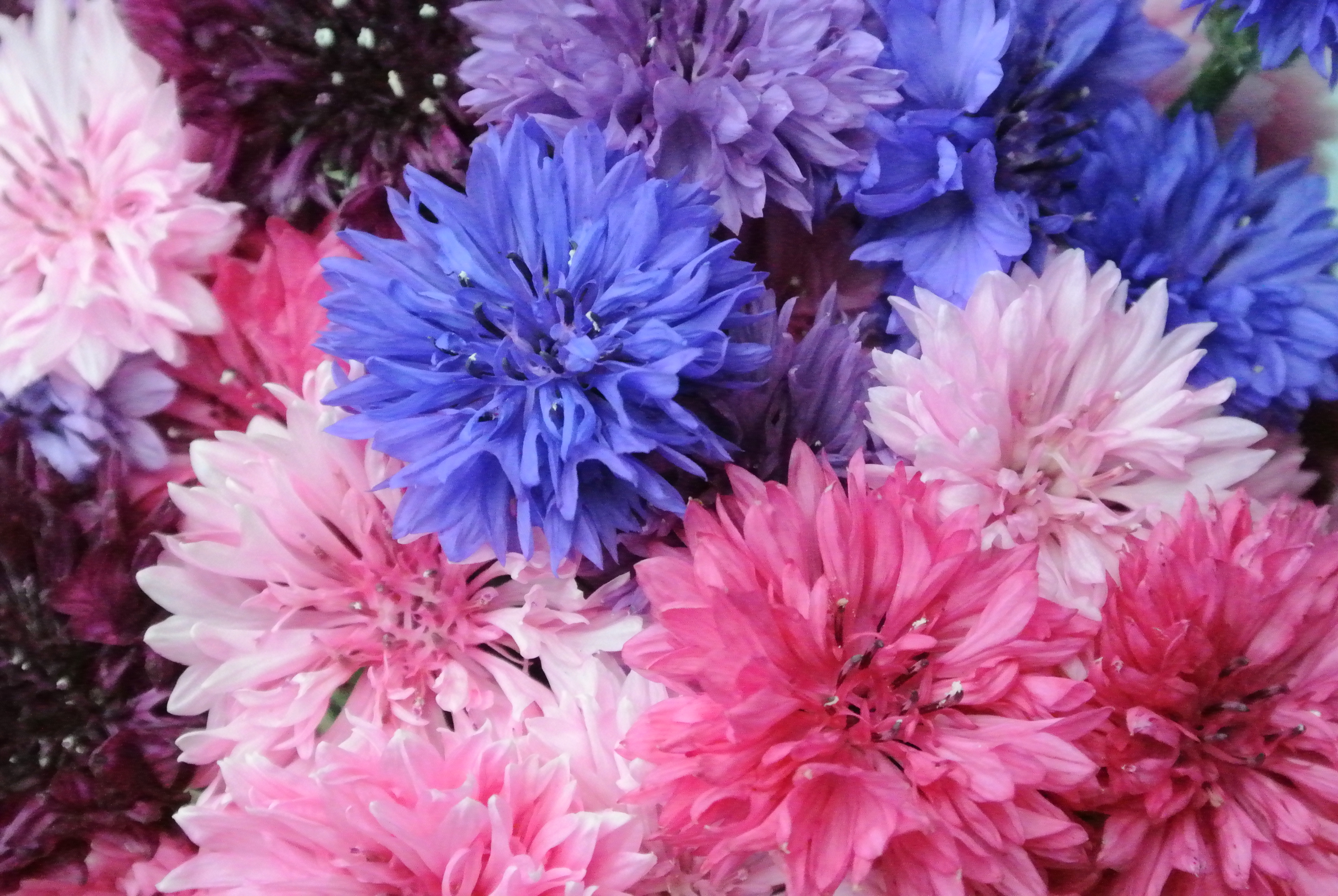 It's a cornflower day today – mostly pink cornflowers